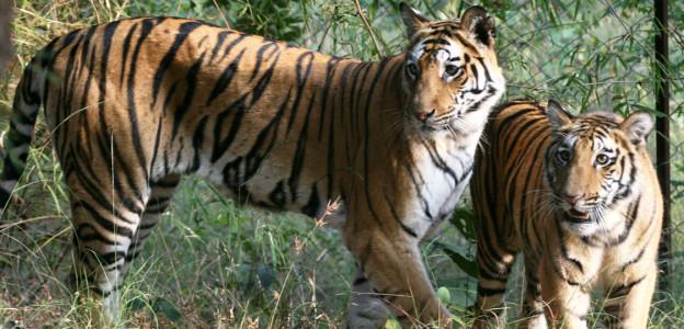 tigers-indain-nature-tours-copyright