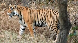 bamera-tiger