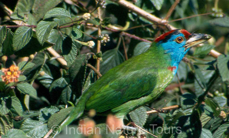 blue_beared_barbet_corbett_national_park