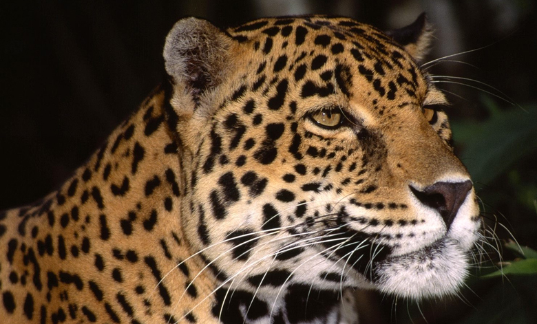 leopard-big