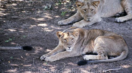lion-gir-s