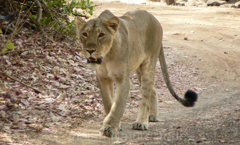 lion_gir