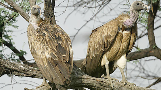 long_billed_vulture-small