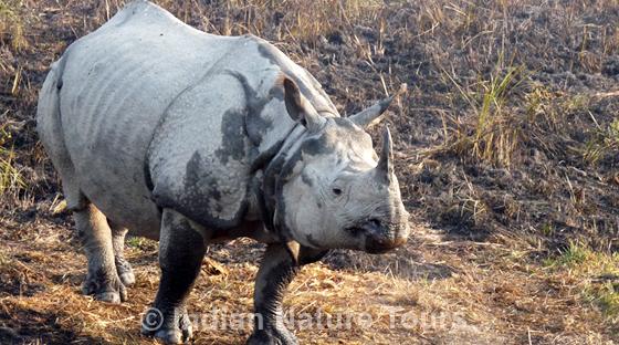 rhino_kaziranga_l