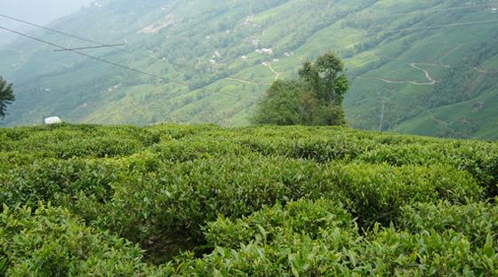 tea-garden-tour-of-india-tour