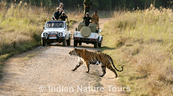 tiger_safari_large