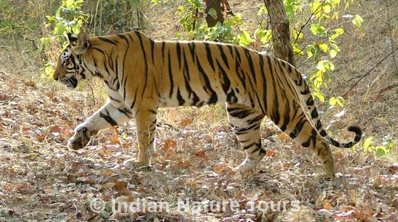 tigerss_bandhavgarh_l