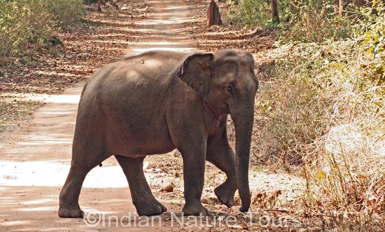 elephant-north-east-india-b