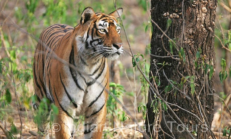 ranthambhore-tiger-big