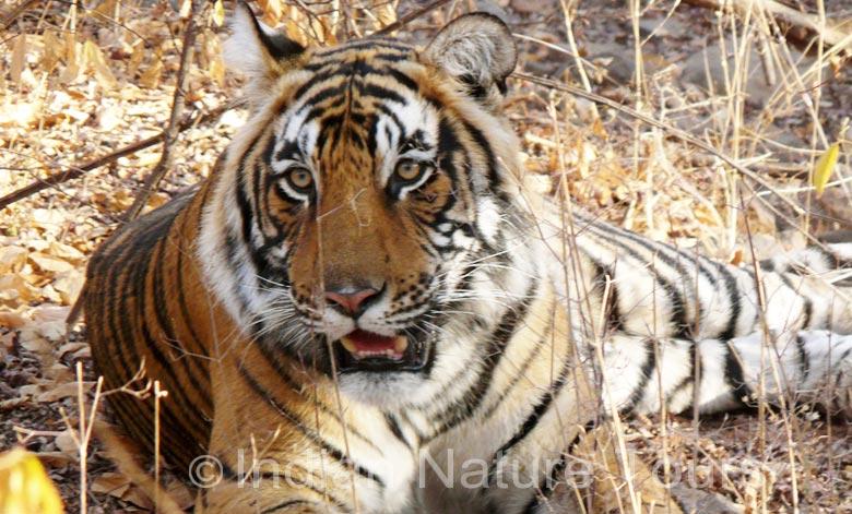 tiger-kanha-b